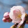 ようやく花を開き始めたみかもやま公園の河津桜
