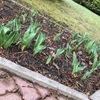 チューリップが咲き始めました。