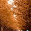 滋賀高島 メタセコイヤ並木の紅葉