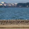 県北で越冬中のシギチの大潮満潮時の振舞いについて
