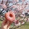 早咲きの桜の下でドーナツを食べました