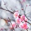 1/17(木) 冬晴れに梅が咲く‥