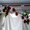 2017/08/07  トマトの水耕栽培
