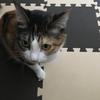 【愛猫日記】毎日アンヌさん#63