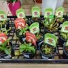 今年もホームセンターで食虫植物!(2021年)