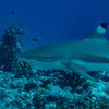 ダイビングで注意するべき危険生物。サメよりも怖いゴマモンガラの対処法。