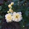 モッコウバラ、咲きました