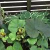 絶好調なリグラリアとバラと花壇の様子