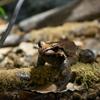 マガイナンベイウシガエル Leptodactylus knudseni