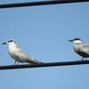 河北潟鳥撮り対決