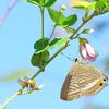 チョウを庭に呼びよせる 小さい庭でもバタフライガーデン