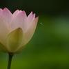 最後の蓮の花・・