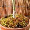 苔の蒴(さく)膨らむ一月