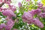 札幌・大通公園を彩る、甘い香りを振りまくライラックたち。