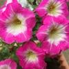 花壇を覆うラクスパーとプランターのペチュニア