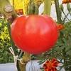 トマトの脇芽栽培