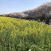 「幸手桜まつり」の権現堂桜堤を彩るソメイヨシノと菜の花畑の絶景