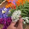 ニラの花とミョウガ。