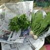 ベビーリーフ、小かぶ収穫。草マルチ設置