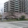 新千里東町2の桜
