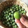 イタリアひとり旅㉙【後半:トスカーナ編】ワークアウェイのミッションその2:オリーブを収穫して漬け込む