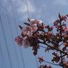 万代長嶺小学校脇の桜2013(0330)