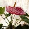 アンスリウムの花2