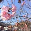 河津桜と下田温泉へ、ついでに取材も