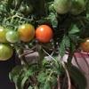 色づきはじめました🍅枝垂れミニトマト