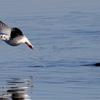 湖面から飛び立つユリカモメ
