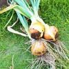 玉ねぎ収穫してみました!