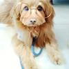 【犬写真】流行のsnowアプリでトイプードルMIX犬を撮ってみた。