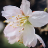 1月12日誕生日の花と花言葉 歌句
