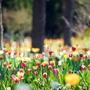 済州チューリップ祭り #翰林公園 #上孝園