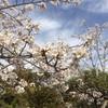 彷徨いながら桜を愛でるわけ