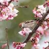 2019年3月17日の鳥撮り-埼玉県