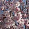 今年の桜は早そう!