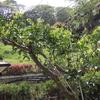 2012/04/26 ハッサクの木も若葉