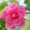 ハートの花びら:シルク・ロードというツバキ