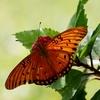 日陰のオレンジの蝶