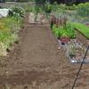 トマトの植え付けと ニンジンの間引き