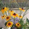 庭の花・あじさいとコスモス