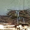 薪ストーブ前史35 伐採された庭木を拾って