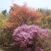 神戸森林植物園。新緑、コバノミツバツツジ。+モノクロ写真