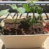 皆さんの旅行記事を楽しみつつ、我が家は夏休みのベランダ家庭菜園