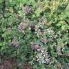 「まつこの庭」のアキギリ