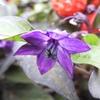 トウガラシの紫色の花
