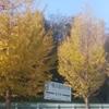 黄色に輝くイチョウ並木