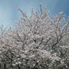 恋するフォーチュンクッキーを野良着で踊る&清見の収穫&石畳の東の枝垂桜&賑やかなムーミンの谷句会♪