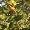 柿食えば鐘が鳴るなり法隆寺